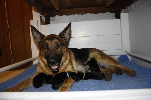 How I Raise My Puppies 1 Planning Pregnancy Whelping Celhaus